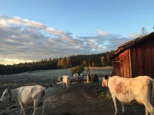 Allmoracowsfarm